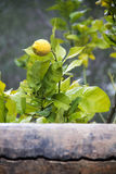 De behing Muur van de citroenboom Stock Foto's