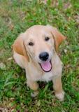 De Behoefte van het labradorpuppy om met me te spelen Royalty-vrije Stock Foto's
