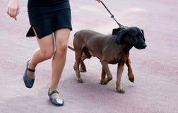De Beierse Hond van de Berg Stock Afbeeldingen