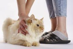 De beige kat houdt zijn handen zodat kon hij niet ontsnappen stock fotografie