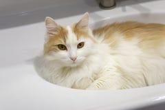 De beige witte kat ligt in een witte wasbak royalty-vrije stock afbeeldingen