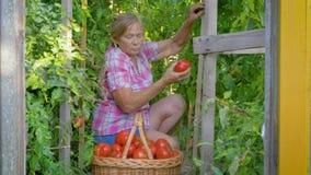De bejaarde Kaukasische vrouw verzamelt rijpe rode tomaten in een mand in een serre stock video