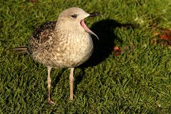 De bek van de meeuwvogel brede open status op gras Stock Foto