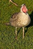 De bek van de meeuwvogel brede open status op gras Stock Afbeeldingen