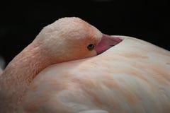 De bek van de flamingohuid in veren stock afbeeldingen