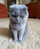 De beledigde kat stock foto's
