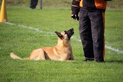 De Belgische Herder Dog van Malinois let op de man in een kostuum en aanvallen als hij zich beweegt royalty-vrije stock afbeelding