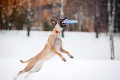 Hond die en een vliegende schijf in mid-air springen vangen Stock Foto's
