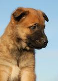 De Belgische herder van het puppy stock foto