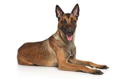 De Belgische Hond Malinois van de Herder Stock Afbeelding