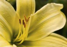 De belle couleur vibrante de lis fleur sauvage lilly Image libre de droits