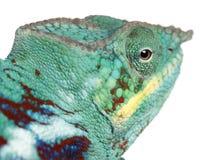 De Bemoeizieke close-up van het Kameleon van de Panter is Royalty-vrije Stock Foto