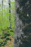 De bemoste close-up van de theeboomstam, mystiek pijnboomhout op de achtergrond Royalty-vrije Stock Foto's