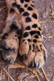 De benen en de klauwen van de jachtluipaard stock foto