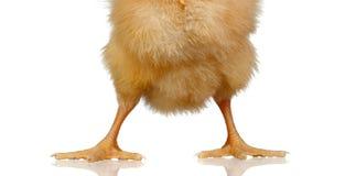 De benen van een gele kip sluiten omhoog Royalty-vrije Stock Afbeelding