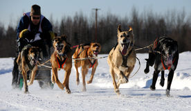 De beperkte Noordamerikaanse Race van de Hond van de Slee Stock Afbeelding