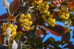 De berberis bloeit close-up Stock Foto