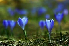 De berg bloeit wilde krokus stock foto's