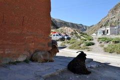 De berg Tibetaanse geit met sommige dreadlocks rond Labrang stock foto