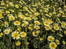 De berg van het bloemgebied tijdens de lente in Californië Stock Foto