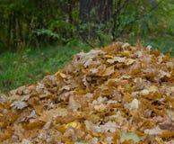 De berg van de vallen-beneden gele bladeren op een groene open plek i Stock Fotografie