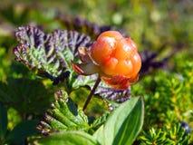 De bergbraambes van de het noordenbes de Latijnse naam: Rubuschamaemorus stock fotografie