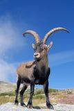De Bergen en de fauna van Gredos Stock Afbeeldingen
