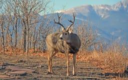 De Bergen van Buck Mule Deer iwith en schrobben Eiken Bomen royalty-vrije stock foto's