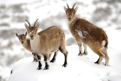 De berggeiten van Gredos Stock Foto