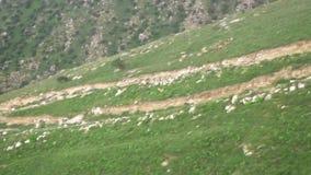 De berggeiten weiden op berghellingen stock video