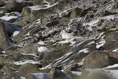 De berghazen, Lepus-timidus, sluiten omhoog portret terwijl het zitten, leggend op sneeuw tijdens de winter in de winter/de zomer stock afbeelding