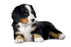 De berghond van Bernese van het puppy Royalty-vrije Stock Fotografie