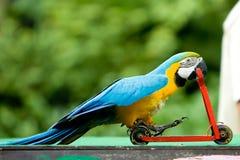 De berijdende fiets van de papegaai Stock Foto's