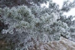 De berijpte takken van de pijnboomboom buiten op koude de winterdag Royalty-vrije Stock Afbeeldingen