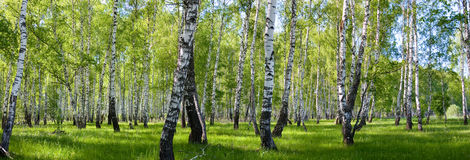 De berk boslandschap van de zomer Stock Afbeelding