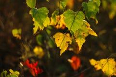 De berk gaat in de herfst weg stock foto