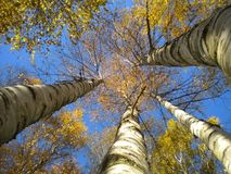 De berk gaat hoofd om in de blauwe de herfsthemel te bedekken stock foto
