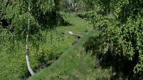 De berk met groene bladeren groeit dichtbij een kleine stroom stock footage