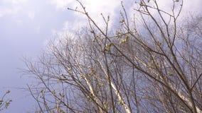 De berk ontluikt op een boom tegen de blauwe hemel, achtergrond, exemplaarruimte, aard stock footage