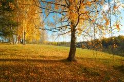 De berk van de landschapsherfst Stock Foto