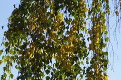 De berk verlaat gele en groene flikkering in het zonlicht stock foto's