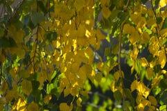 De berk verlaat gele en groene flikkering in het zonlicht royalty-vrije stock foto's