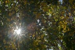 De berk verlaat gele en groene flikkering in het zonlicht stock foto