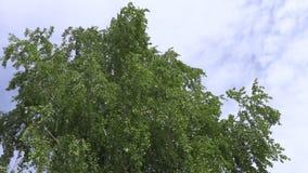 De berk vertakt zich met groene bladeren die in de wind op een achtergrond van hemel en wolken slingeren Lengte 4k stock video