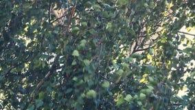 De berkbladeren beven in de wind stock videobeelden
