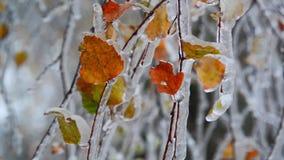 De berkbladeren zijn behandeld met ijs na regen in de winter stock video