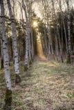De berkbomen leidt tot de zon Stock Fotografie