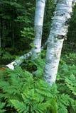 De berkbomen van de zomer Stock Foto's