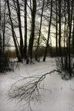 De berkboom in een Koud de Winterlandschap, één boom viel aan weg stock afbeeldingen