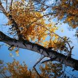 De berkboom en tak van de herfst op het meer stock foto